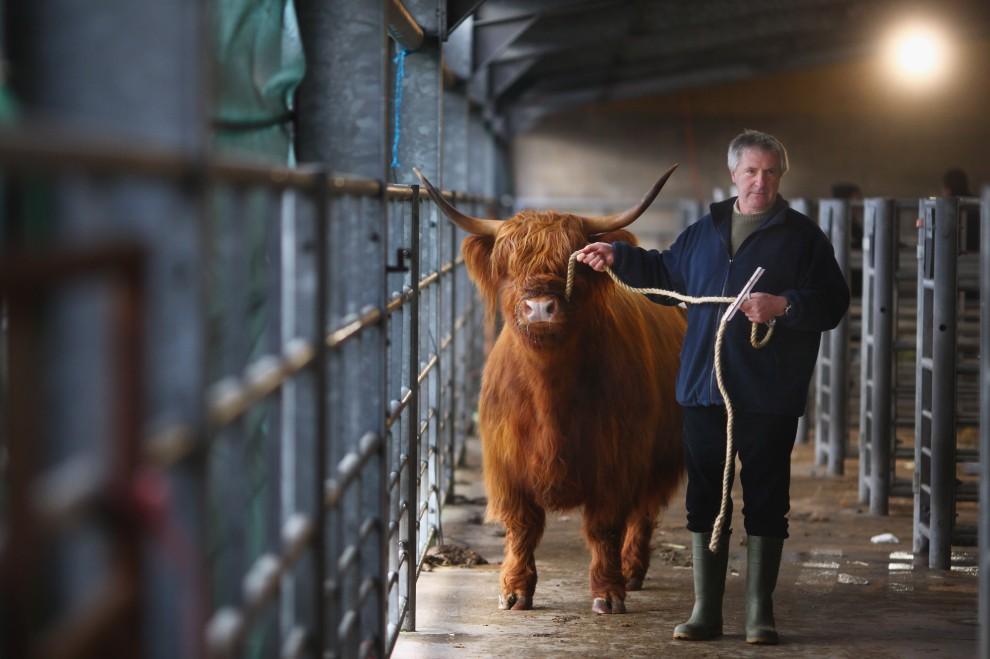 17. SZKOCAJA, Oban, 14 lutego 2011: Doroczna giełda bydła szkockiej rasy wyżynnej. (Foto: Jeff J Mitchell/Getty Images)