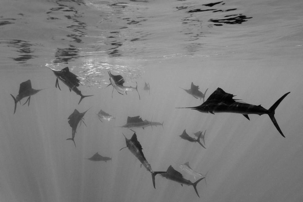 """17.Niemiec Reinhard Dirscherl otrzymał II nagrodę World Press Photo w kategorii """"Natura - zdjęcia pojedyncze"""" za fotografię przedstawiającą żaglice atakujące sardynele atlantyckie. PAP/EPA."""