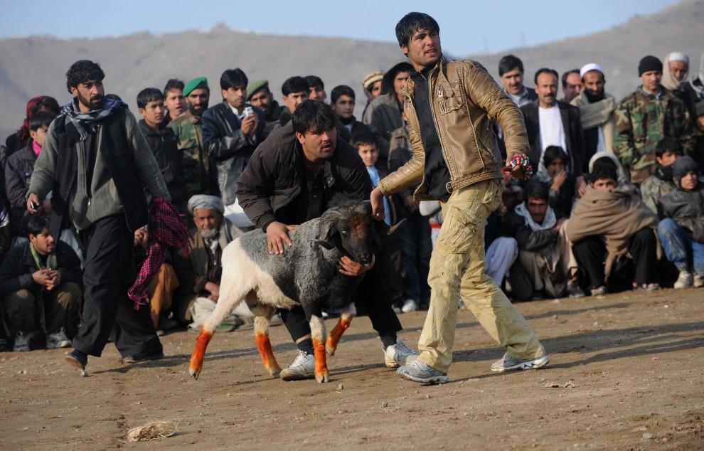 18. AFGANISTAN, Kabul, 18 lutego 2011: Mężczyźni wypuszczają barana do walki. AFP PHOTO / Massoud HOSSAINI
