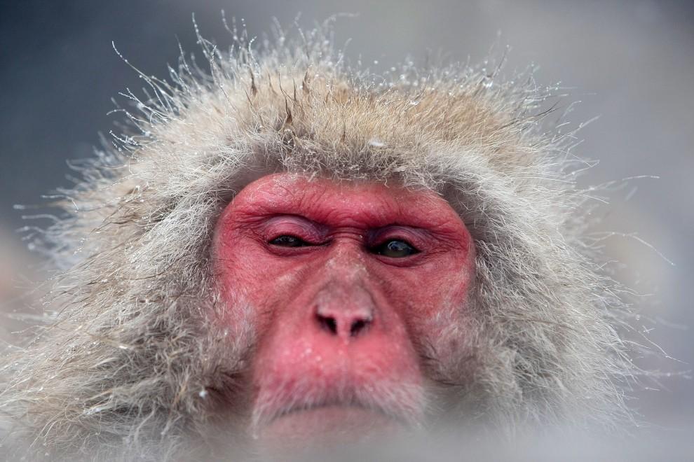 18. JAPONIA, Jigokudani, 17 lutego 2008: Małpa odpoczywające w termalnym źródle. (Foto: Koichi Kamoshida/Getty Images)