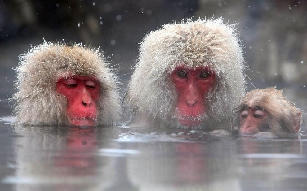 19. JAPONIA, Jigokudani, 17 lutego 2008: Rodzina makaków podczas kąpieli. (Foto: Koichi Kamoshida/Getty Images)