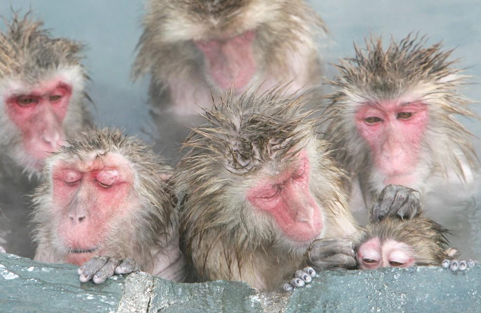 1. JAPONIA , Hakodate, 3 stycznia 2005: Makaki w ciepłym zbiorniku wodnym ogrodu botanicznego. AFP PHOTO