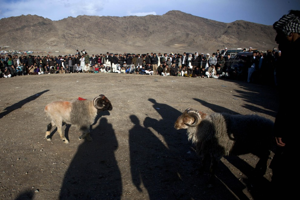 20. AFGANISTAN, Kabul, 18 lutego 2011: Mężczyźni przyglądają się walczącym baranom. (Foto: Getty Images)