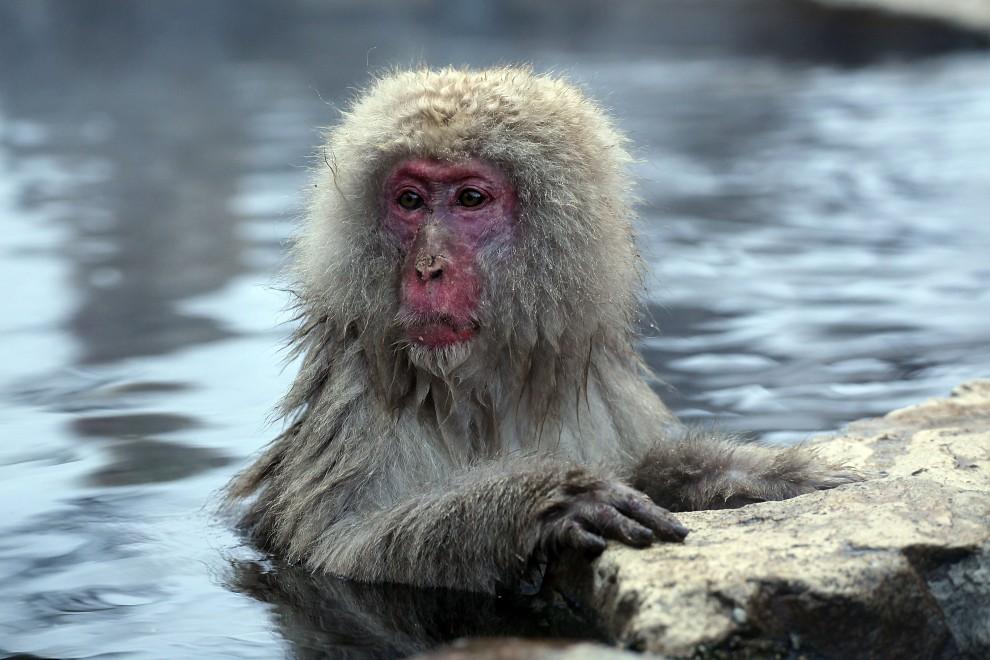 20. JAPONIA, Yamanouchi, 30 stycznia 2010: Samotny makak w ciepłej wodzie źródła z Jigokudani-Onsen. (Foto: Koichi Kamoshida/Getty Images)