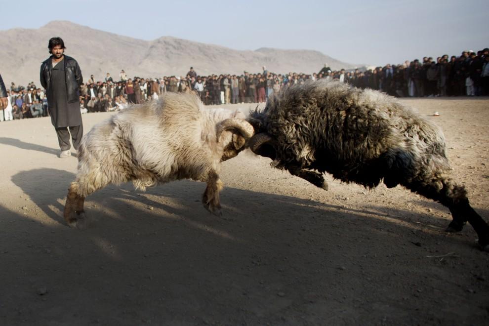 21. AFGANISTAN, Kabul, 18 lutego 2011: Nacierające na siebie barany. (Foto: Getty Images)