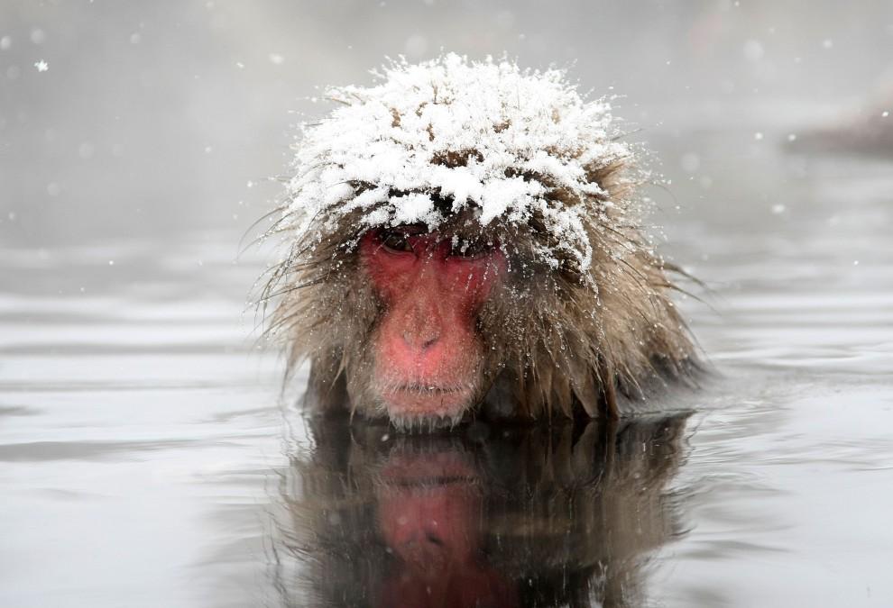 21. JAPONIA, Jigokudani, 17 lutego 2008: Zanurzony w wodzie makak, z głową przysypaną śniegiem. (Foto: Koichi Kamoshida/Getty Images)