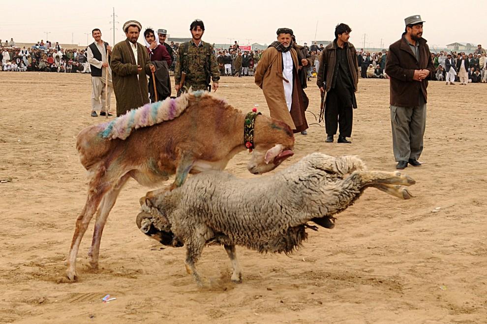 22. AFGANISTAN, Mazar-i-Sharif, 23 marca 2009: Walka baranów na przedmieściach  Mazar-i-Sharif. AFP PHOTO/SHAH Marai