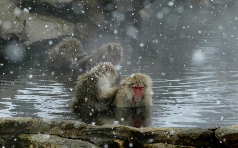 22. JAPONIA , Shigakogen, 15 stycznia 2004: Zabiegi pielęgnacyjnie w ciepłych wodach źródeł z Jigokudani-Onsen. AFP PHOTO/Kazuhiro NOGI