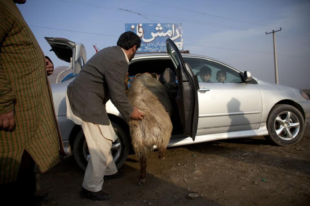 23. AFGANISTAN, Kabul, 18 lutego 2011: Mężczyzna zabiera barana po skończonej walce. (Foto: Getty Images)