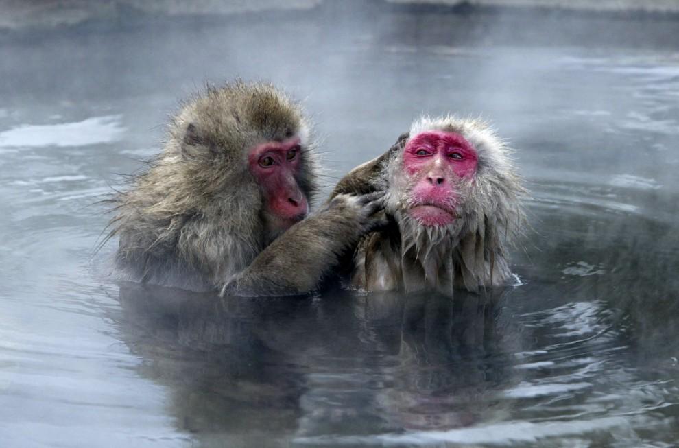 23. JAPONIA, Nagano, 29 stycznia 2003: Małpy ogrzewające się i odpoczywające w ciepłej wodzie. (Foto: Koichi Kamoshida/Getty Images).