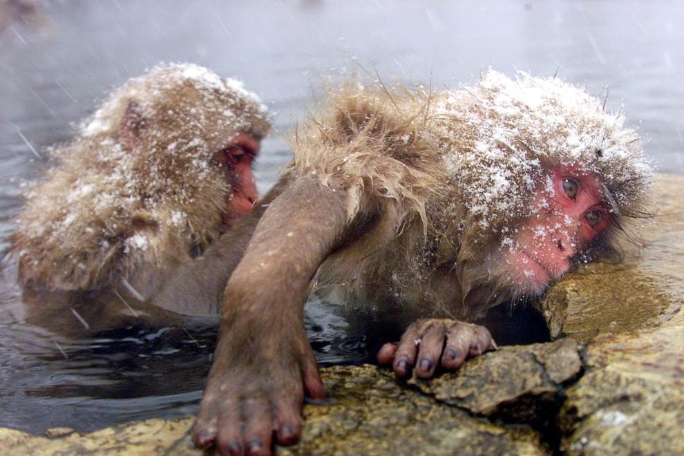 24. JAPONIA, Jigokudani, 7 lutego 2000: Zabiegi pielęgnacyjnie w ciepłej wodzie. AFP PHOTO/Yoshikazu TSUNO