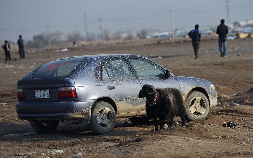 25. AFGANISTAN, Kabul, 18 lutego 2011: Baran przywiązany do koła samochodu zaparkowanego w pobliżu areny. PHOTO / Massoud HOSSAINI