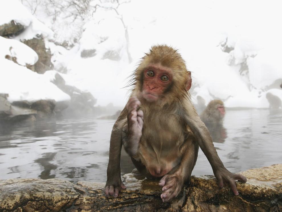 25. JAPONIA, Jigokudani, 23 stycznia 2005: Młody makak po wyjściu z wody. (Foto: Koichi Kamoshida/Getty Images)