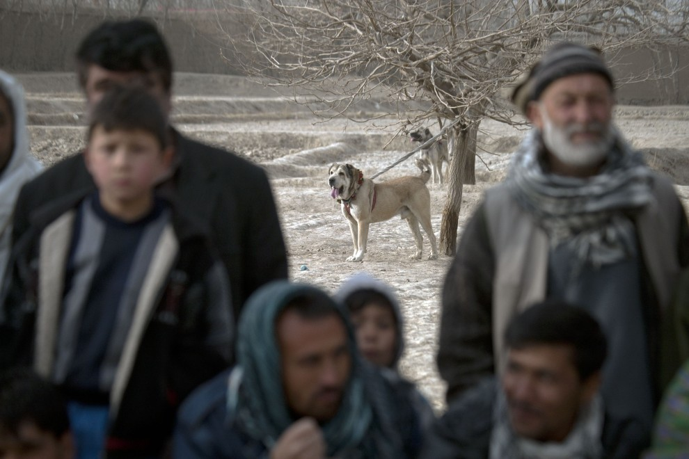 26. AFGANISTAN, Kabul, 7 stycznia 2011: Pies przywiązany do drzewa czeka na walkę. (Foto:  Majid Saeedi/GEtty Images)