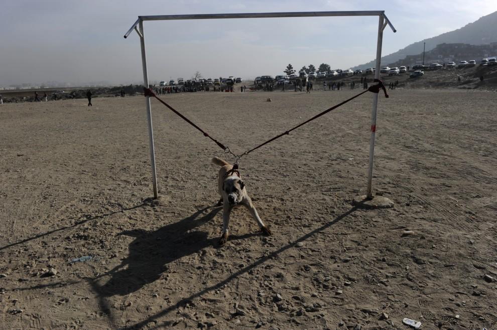 27. AFGANISTAN, Kabul, 17 grudnia 2010: Pies przygotowany do walki. AFP PHOTO/SHAH Marai