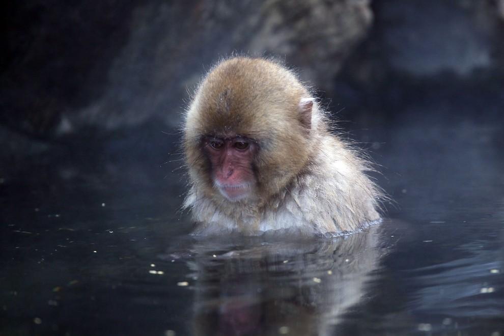 27. JAPONIA, Yamanouchi, 30 stycznia 2010: Małpa zanurzona w wodach z termalnego źródła. (Foto: Koichi Kamoshida/Getty Images)