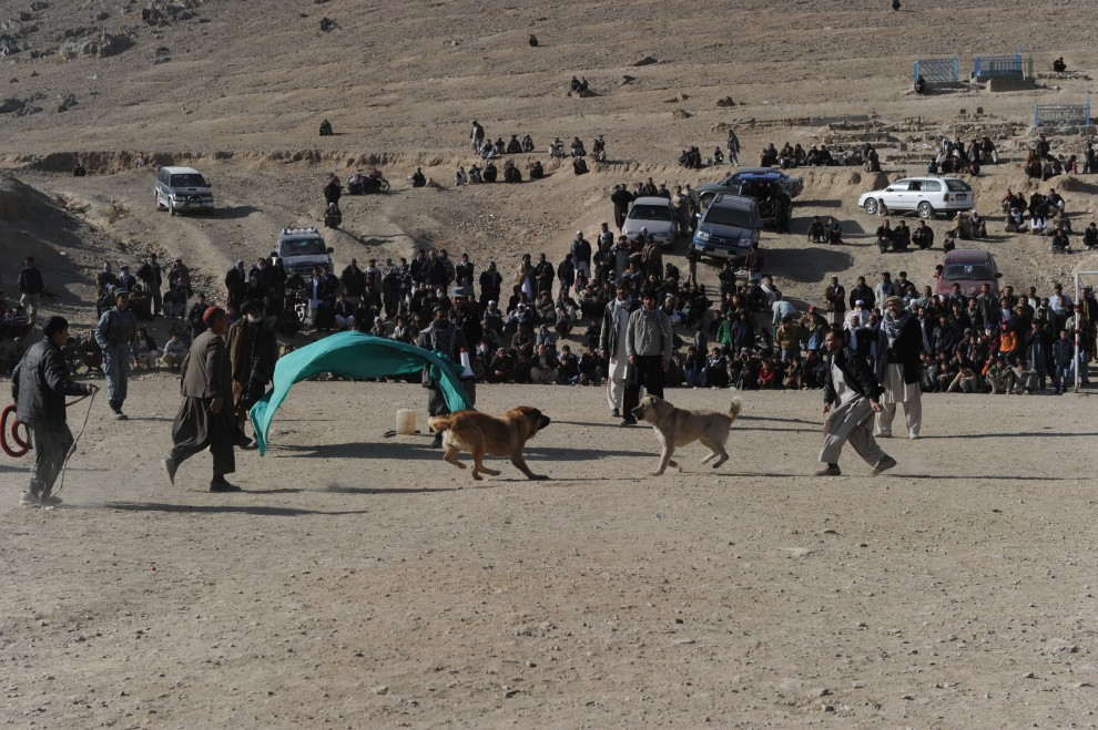 28. AFGANISTAN, Kabul, 17 grudnia 2010: Nacierające na siebie psy w trakcie walki na arenie na przedmieściach Kabulu. AFP PHOTO/SHAH Marai