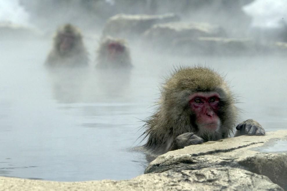 28. JAPONIA, Nagano, 29 stycznia 2003: Grupa makaków odpoczywa w ciepłej wodzie ze źródeł w Nagano. (Foto: Koichi Kamoshida/Getty Images)