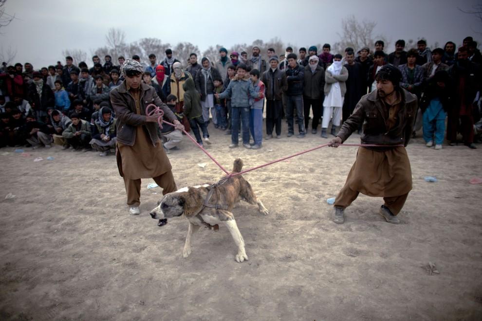 29. AFGANISTAN, Kabul, 7 stycznia 2011: Mężczyźni powstrzymują szarpiącego się psa. (Foto:  Majid Saeedi/GEtty Images)