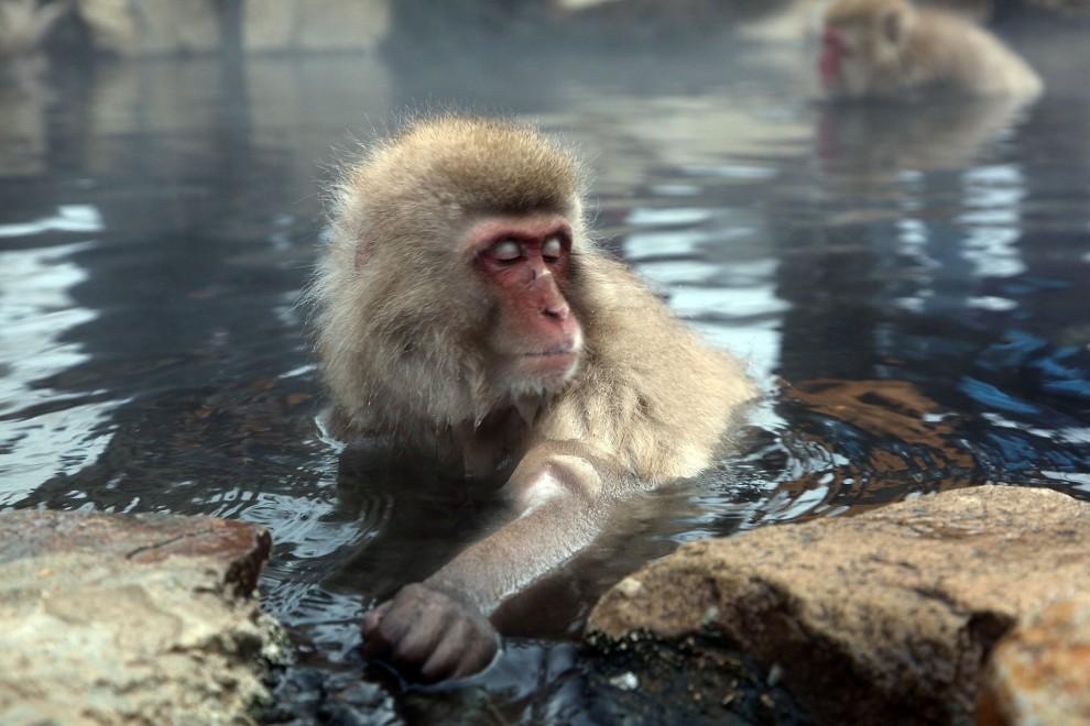29. JAPONIA, Yamanouchi, 30 stycznia 2010: Małpa zanurzona w wodach z termalnego źródła. (Foto: Koichi Kamoshida/Getty Images)