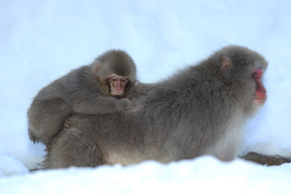 2. JAPONIA, Yamanouchi, 30 stycznia 2010: Samica makaka przenosił młode do źródła z ciepłą wodą. (Foto: Koichi Kamoshida/Getty Images)
