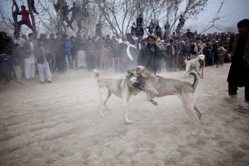 30. AFGANISTAN, Kabul, 7 stycznia 2011: Psy walczące na arenie. (Foto:  Majid Saeedi/Getty Images)