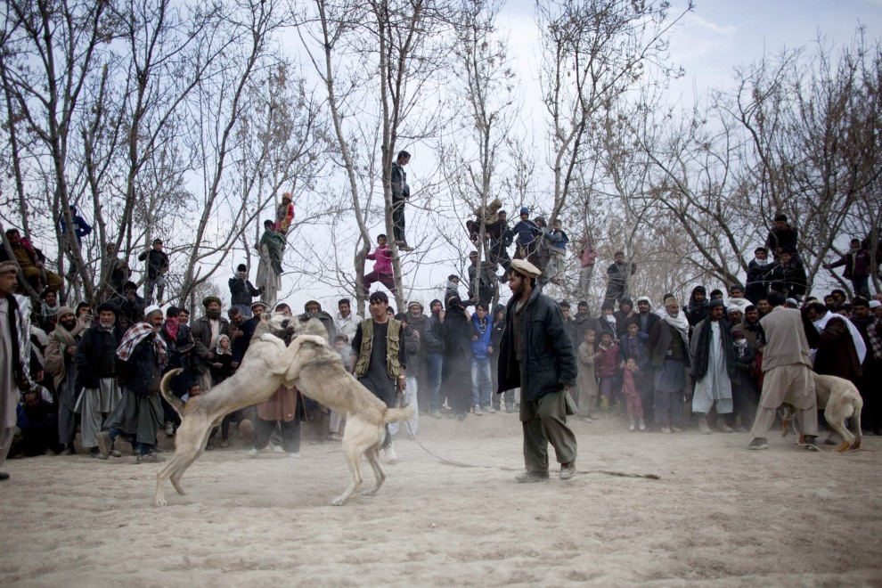 31. AFGANISTAN, Kabul, 7 stycznia 2011: Kibice obserwują walczące psy. (Foto:  Majid Saeedi/Getty Images)