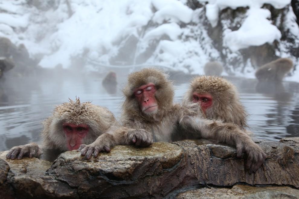 31. JAPONIA, Yamanouchi, 30 stycznia 2010: Makaki relaksują się w ciepłej wodzie. (Foto: Koichi Kamoshida/Getty Images)