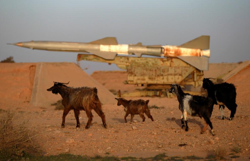 32. LIBIA, Tobruk, 24 lutego 2011: Kozy w opuszczonej bazie wojskowej w pobliżu Tobruku. AFP PHOTO/PATRICK BAZ