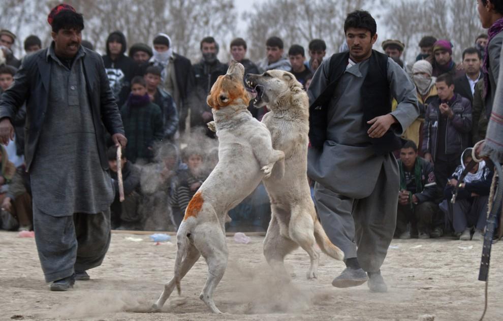 32. AFGANISTAN, Kabul, 7 stycznia 2011: Walczące ze sobą psy w natarciu. (Foto:  Majid Saeedi/GEtty Images)