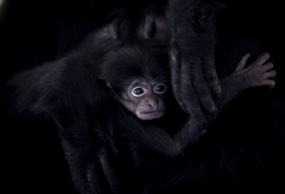32. WIELKA BRYTANIA, Bristol, 1 lutego 2011: Miesięczny siamang z ogrodu zoologicznego w Bristolu w objęciach swojej matki. (Foto: Matt Cardy/Getty Images)