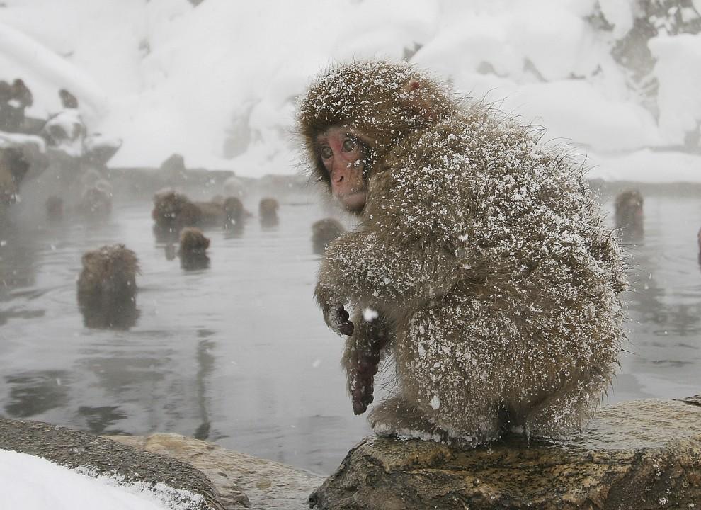 32. JAPONIA, Jigokudani, 27 grudnia 2005: Makak obserwuje z brzegu kąpiące się stado. (Foto: Koichi Kamoshida/Getty Images)