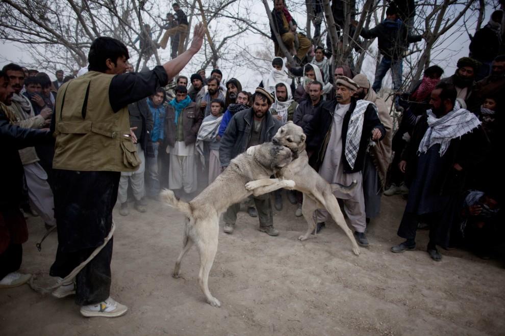 34. AFGANISTAN, Kabul, 7 stycznia 2011: Mężczyźni kibicują swoim psom wystawionym do walki. (Foto:  Majid Saeedi/Getty Images)