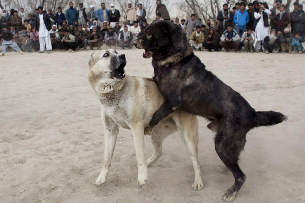 35. AFGANISTAN, Kabul, 7 stycznia 2011: Walczące ze sobą psy. (Foto:  Majid Saeedi/Getty Images)