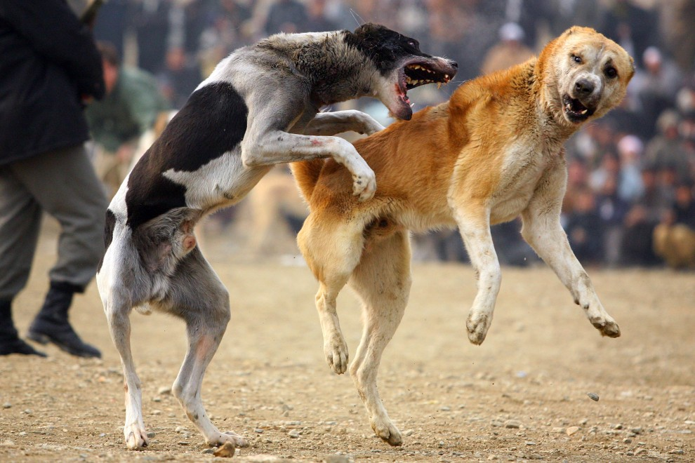 36. AFGANISTAN, Kabul, 11 grudnia 2009: Zorganizowana na przedmieściach Kabulu walka psów. (Foto:  Majid Saeedi/Getty Images)