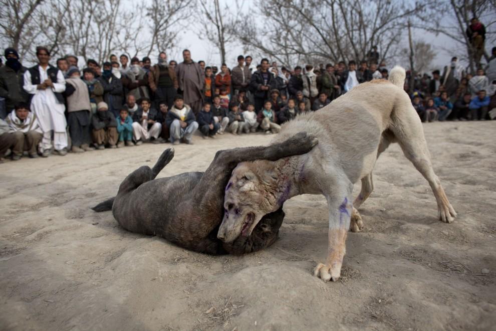 37. AFGANISTAN, Kabul, 7 stycznia 2011: Jeden z psów pada na grzbiet podczas walki. (Foto:  Majid Saeedi/Getty Images)