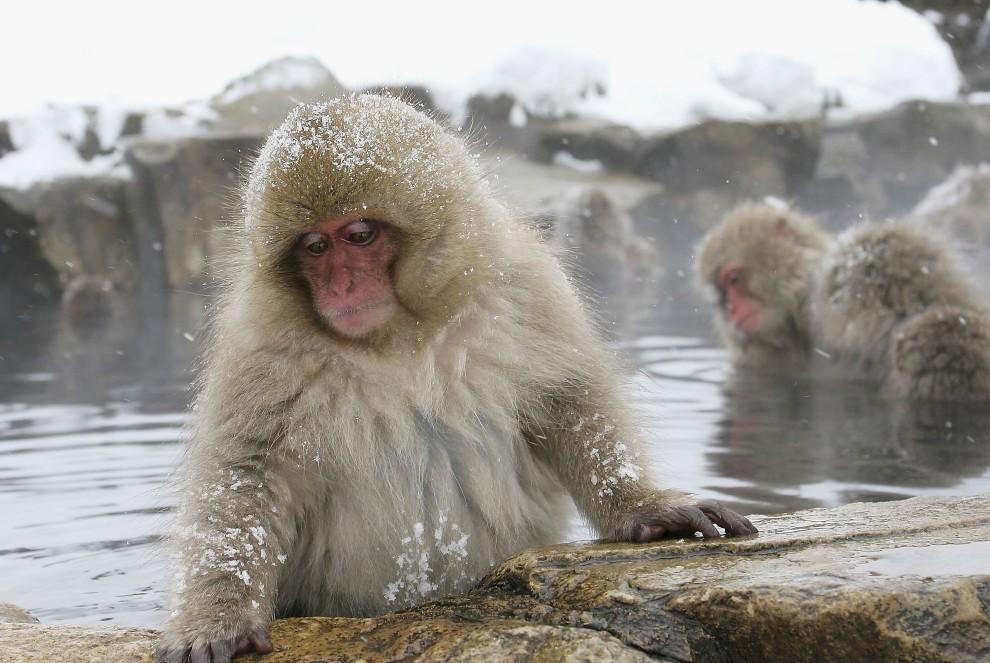 4. JAPONIA, Jigokudani, 27 grudnia 2005: Małpa zanurza się w ciepłej wodzie źródła Jigokudani. (Foto: Koichi Kamoshida/Getty Images)
