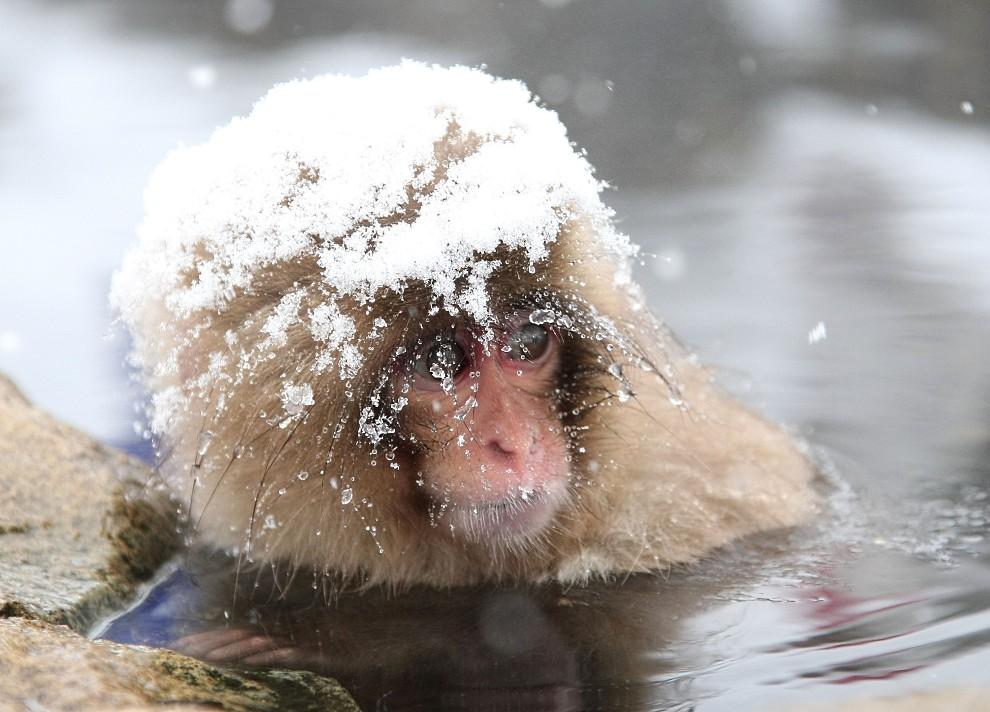 5. JAPONIA, Jigokudani, 17 lutego 2008: Młody makak zanurzony po głowę w termalnym źródle. (Foto: Koichi Kamoshida/Getty Images)