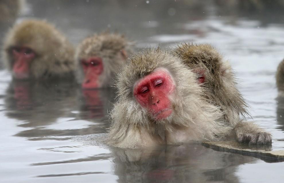 8. JAPONIA, Jigokudani, 27 grudnia 2005: Zabiegi pielęgnacyjnie w ciepłych wodach źródeł z Jigokudani-Onsen. (Foto: Koichi Kamoshida/Getty Images)