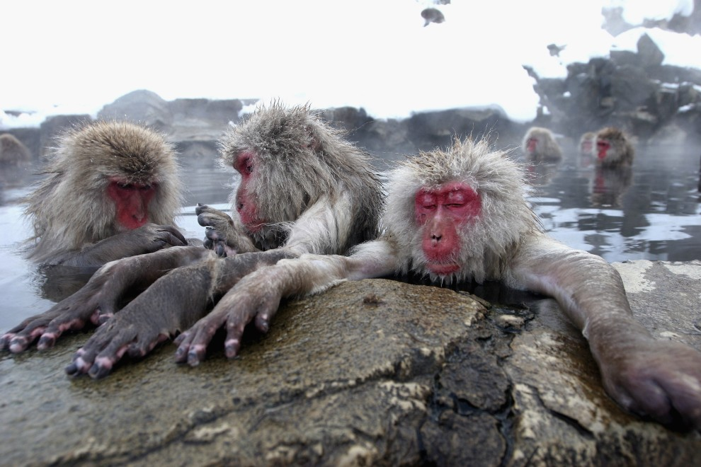 9. JAPONIA, Jigokudani, 23 stycznia 2005: Wygodnie usadowione makaki relaksują się termalnym źródle. (Foto: Koichi Kamoshida/Getty Images)