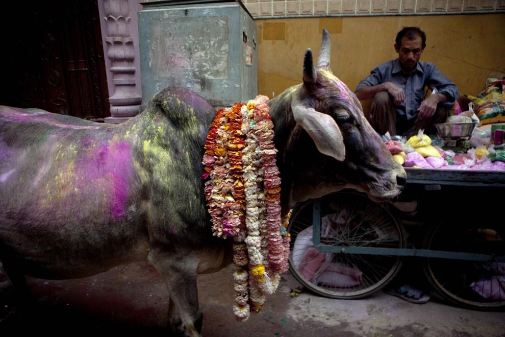 11. INDIE, Vrindavan, 21 marca 2011: Święta krowa na ulicy w Vrindavan. (Foto: Getty Images)