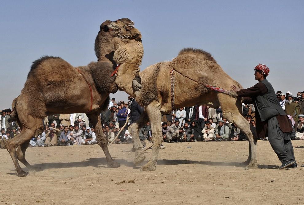 """20. AFGANISTAN, Mazar-i-Sharif, 21 marca 2011: Walka wielbłądów zorganizowana dla uświetnienia obchodów """"Nowurz""""  - nowego roku. AFP PHOTO/Massoud HOSSAINI"""