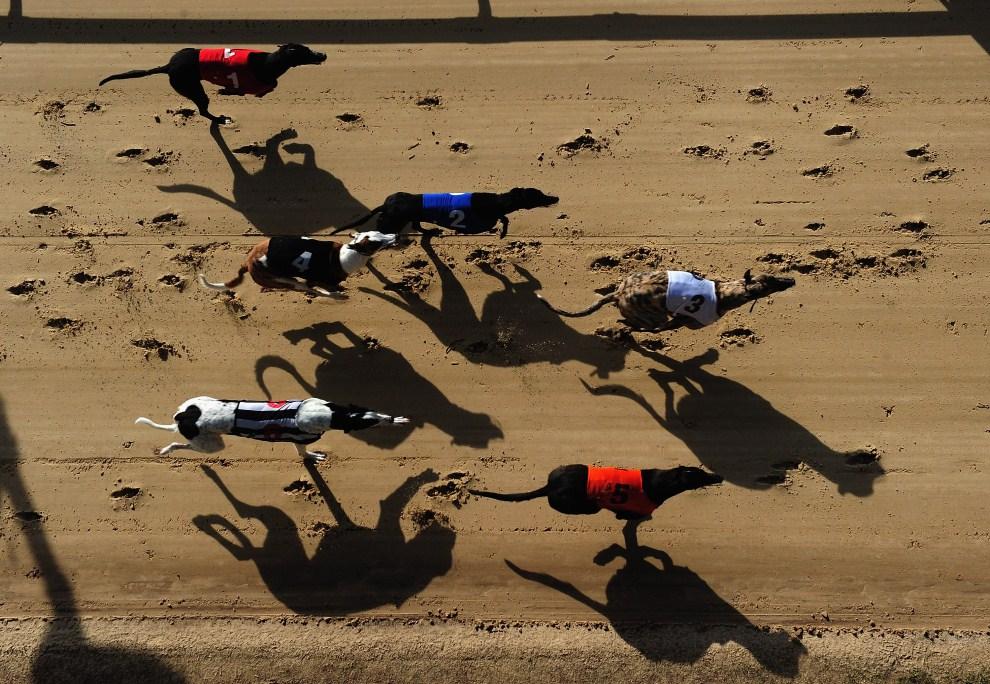 22. WIELKA BRYTANIA, Romford, 24 marca 2011: Psi wyścig na Romford Greyhound Stadium. (Foto: Jamie McDonald/Getty Images)