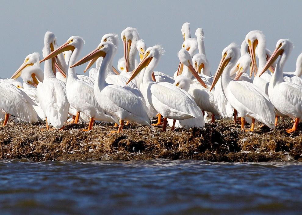 12. USA, Port Sulphur, 7 stycznia 2011: Pelikany na oczyszczonym z ropy fragmencie moczar w Bay Jimmy. (Foto: Sean Gardner/Getty Images)