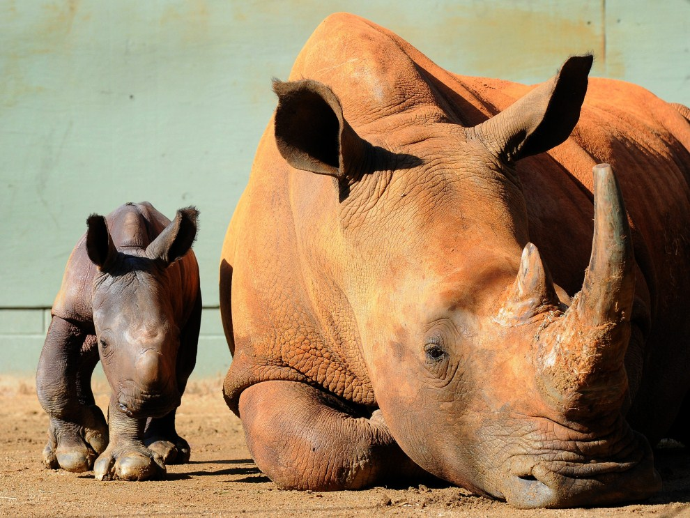 18. AUSTRALIA, Brisbane, 12 kwietnia 2011: Matka i jednodniowy nosorożec z ogrodu zoologicznego w  Brisbane. AFP PHOTO
