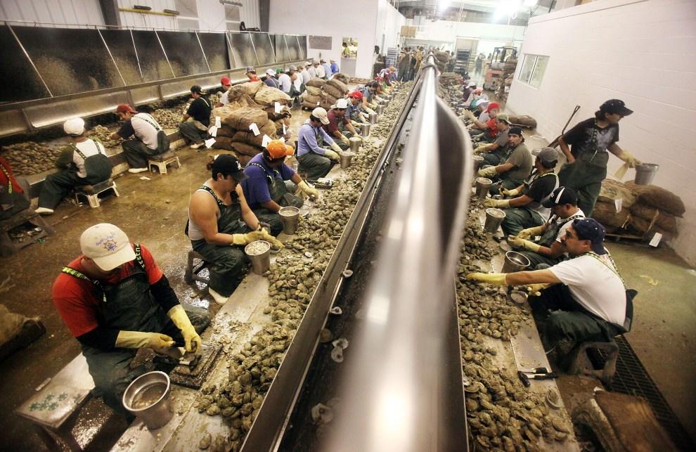 19. USA, Pass Christian, 15 kwietnia 2011: Ludzie zatrudnieni w Crystal Seas Oysters na stanowiskach pracy. Mario Tama/Getty Images/AFP