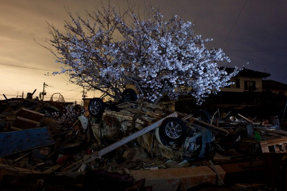 20. JAPONIA, Natori, 18 kwietnia 2011: Kwitnąca wiśnia w okolicy zniszczonej przez trzęsienie ziemi I tsunami. AFP PHOTO / YASUYOSHI CHIBA