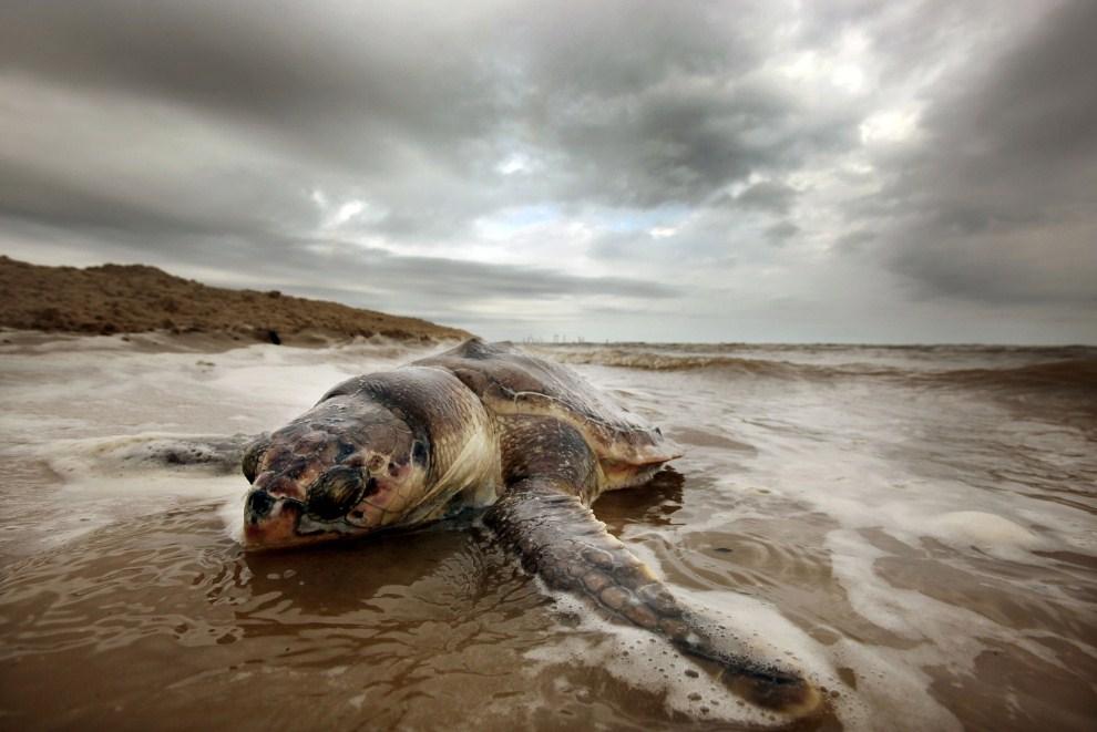 23. USA, Waveland, 14 kwietnia 2011: Martwy żółw wyrzucony na brzeg w Waveland. (Foto: Mario Tama/Getty Images)