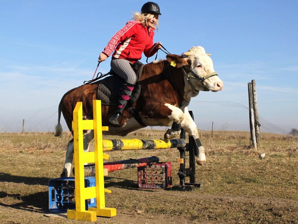 25. NIEMCY, Traunstein, 12 marca 2010: Regina (15 lat) skacze nad przeszkodą dosiadając krowy o imieniu Luna. AFP PHOTO / MICHAEL HUDELIST