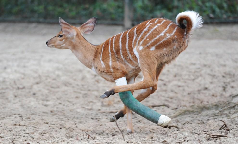 """26. NIEMCY, Hanower, 1 kwietnia 2011: Młoda antylopa o imieniu """"Howard"""" na wybiegu w zoo. AFP PHOTO JULIAN STRATENSCHULTE"""